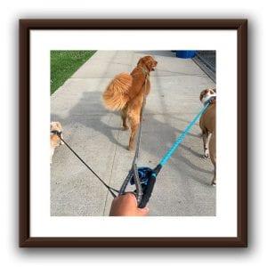 dog walking-1